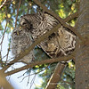 Parent grooming owlet