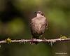 European  Starling  juvenile