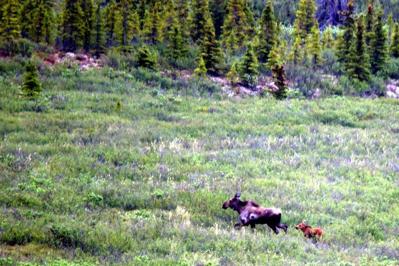 Moose with newborn in Denali National Park