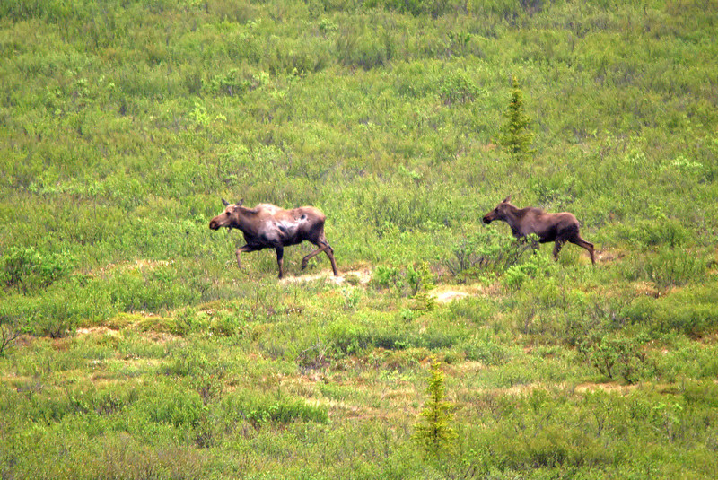 Moose with yearling in Denali National Park