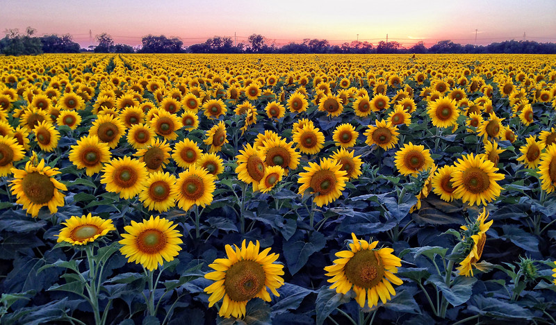 Sunset on sunflowers