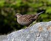 California quail  female