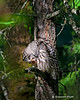 Barred owl grooming