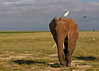 Amboseli National park Elephant with cattle Egret passenger.