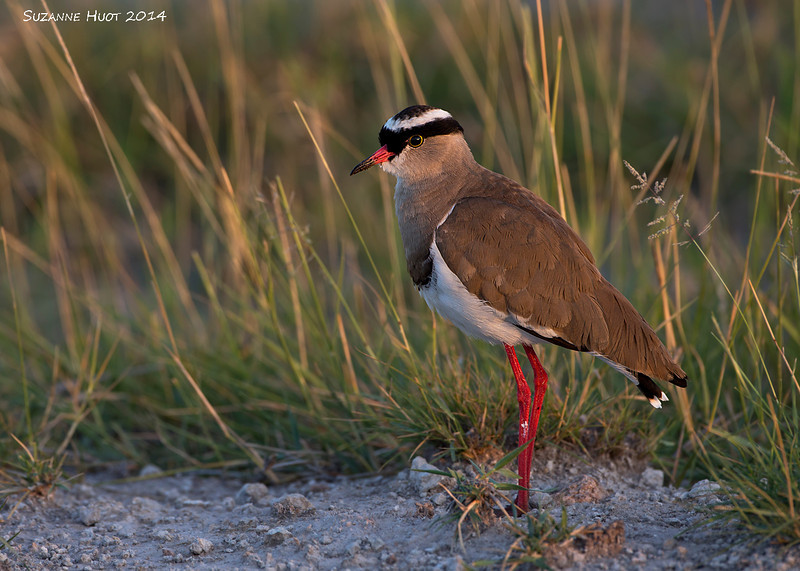 Crowned Lapwing at Dawn. Amboseli national park  Kenya.