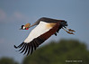 Grey-crowned crane in flight. Ambeseli Kenya.