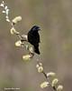 Red-winged Blackbird, non breeding plumage.