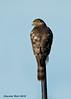Cooper's Hawk. juvenile.