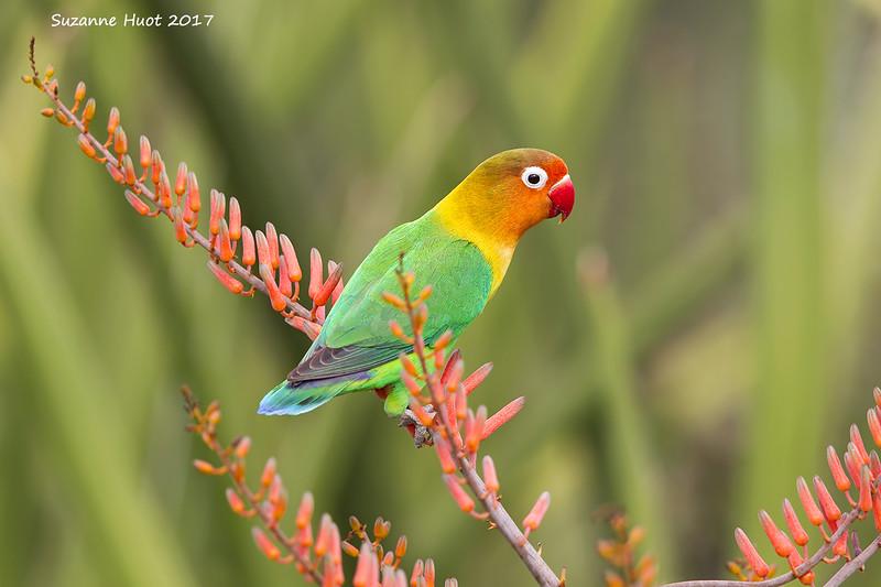 Fisher's Lovebird.