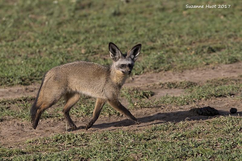 Bat eared fox on the prowl.
