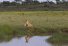 Lioness reflections
