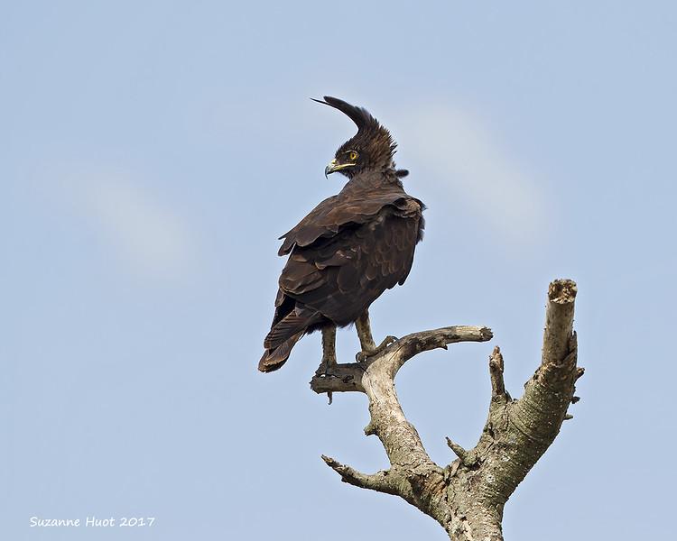 Long-Crested Eagle .