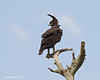Long-Crested Eagle .