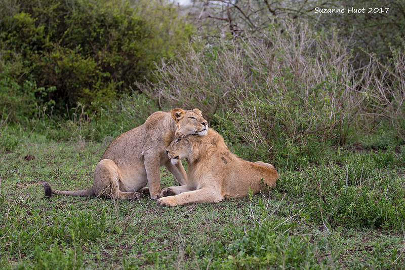 Young adult Lion brothers relaxing .