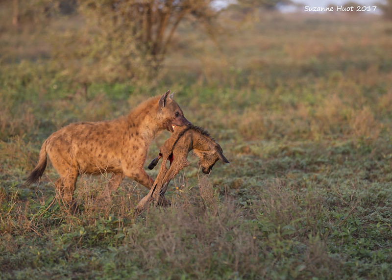 Hyena at dawn with remains of Wildebeest calf.