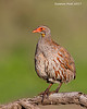 Yellow-necked Spurfowl.