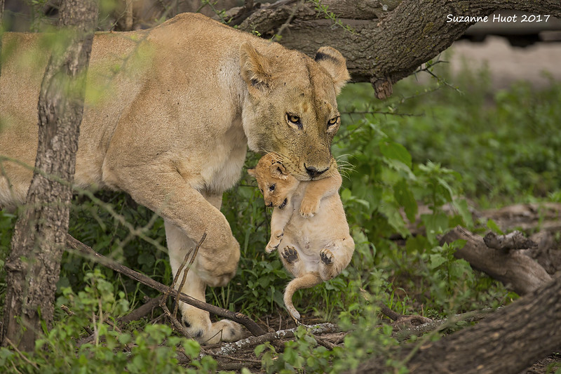 Lioness carrying cub to a safer spot