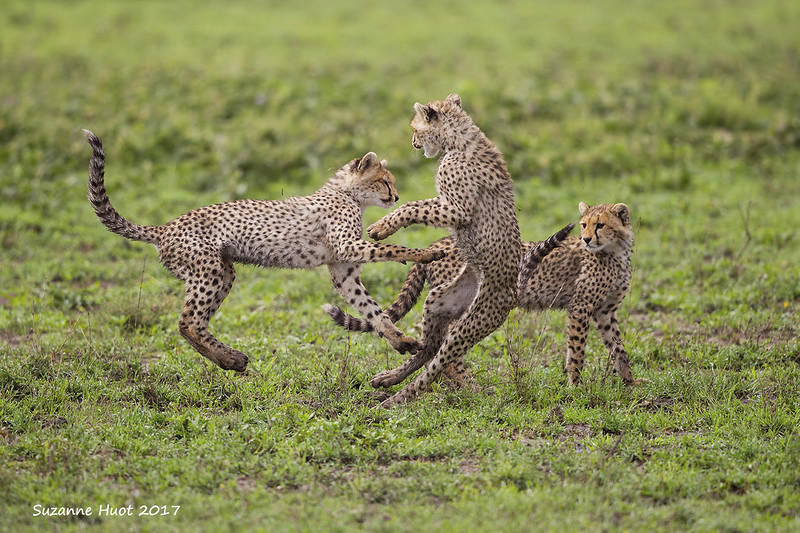 Three of the four  Cheetah cubs at play