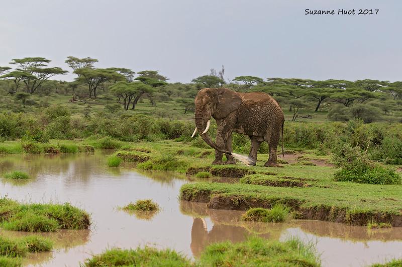 Bull Elephant  bathing.