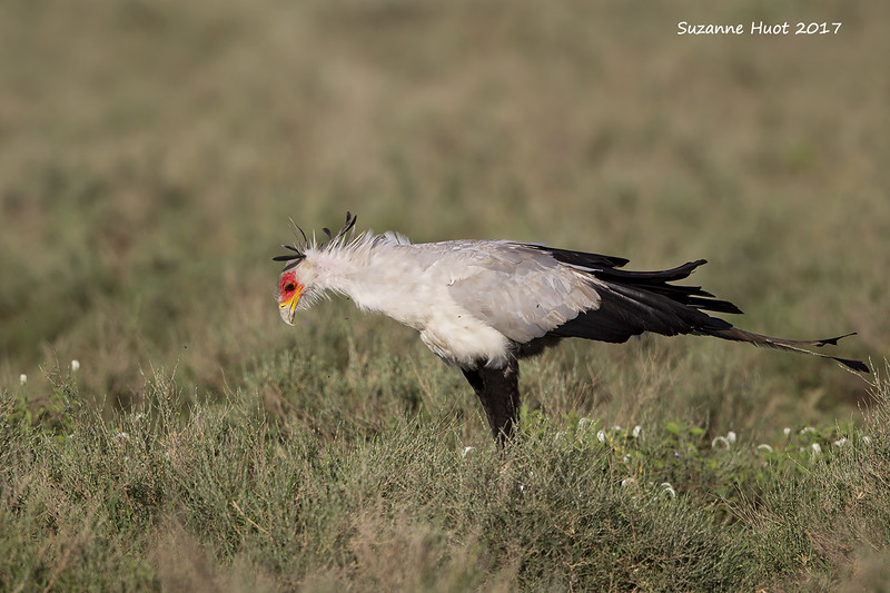 Secretary Bird in search of his favorite food Snakes.