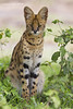 Serval Cat resting in the shade of a small bush.