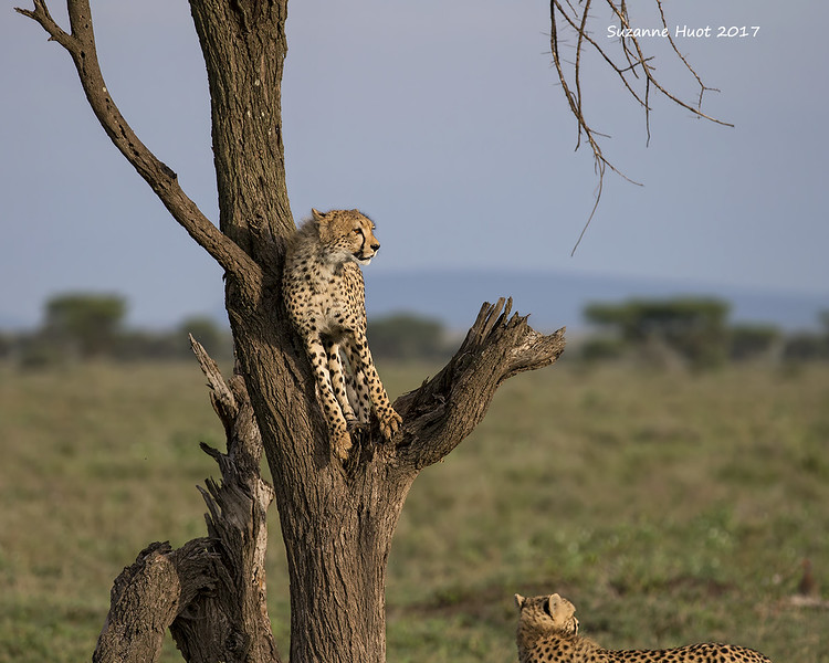Cheetah cub checking out the view.