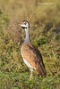 White-Bellied Bustard male
