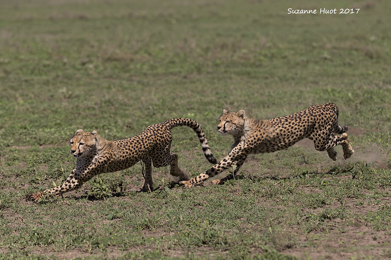 Cheetah cubs at play