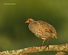 Red-necked Spurfowl  early morning light