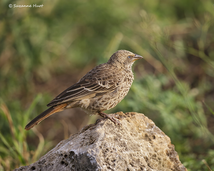 Rufous -tailed Weaver