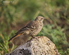 Rufous -tailed Weaver