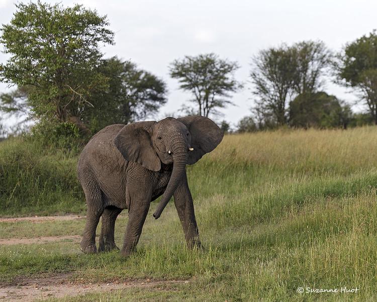 Juvenile male Elephant .