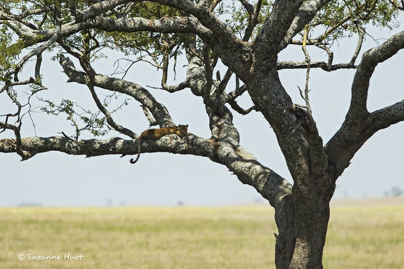 Long distance capture of Leopard at rest