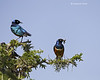 Superb Starling with Grasshopper