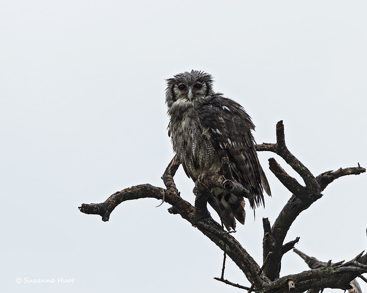 A very bedraggled and wet Verreaux's Eagle-owl