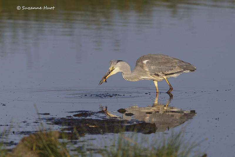 Grey Heron with Frog catch