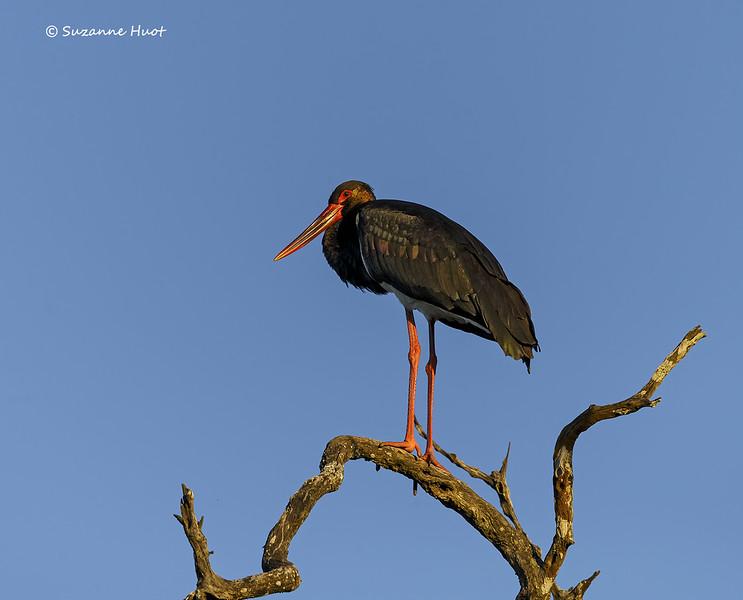 Black Stork at sunrise
