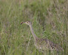Black-bellied  Bustard with insect  female