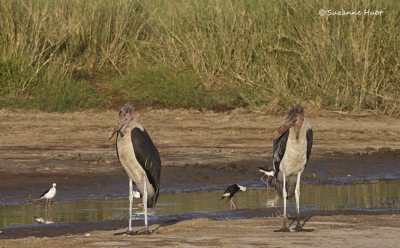 Marabou Storks plus Stilts