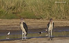 Marabou Storks plus Stilts