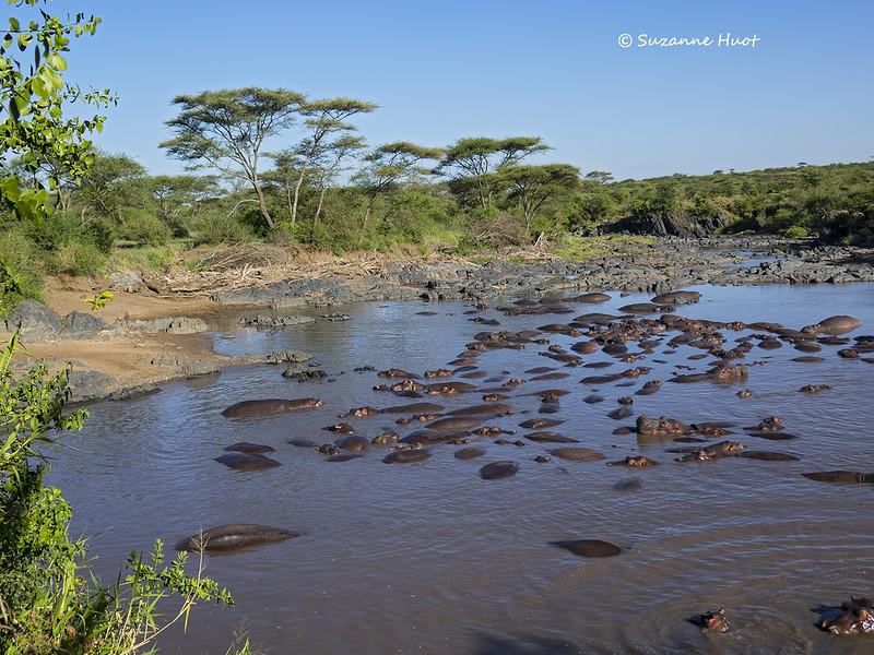 Hippo pool on the Mara river