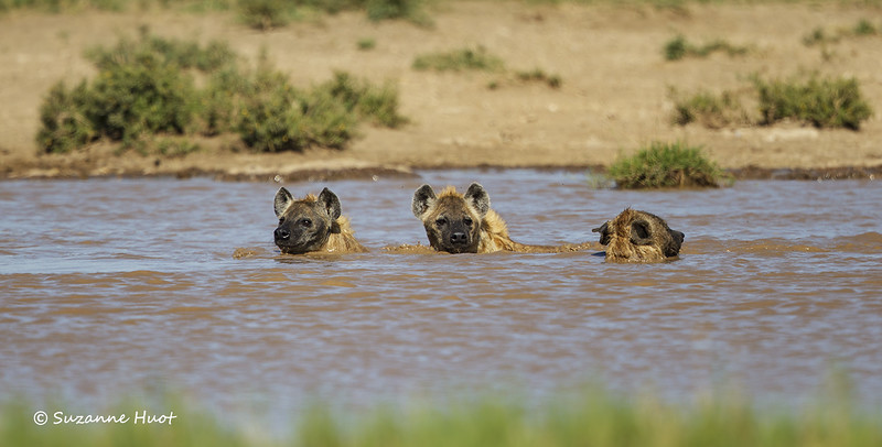 Swim time for the Hyenas