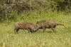 Warthog battle