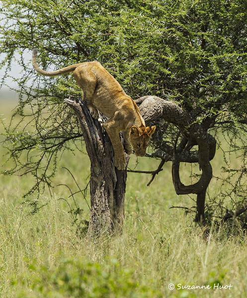 Lion cub descending