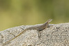 Agama lizard   female
