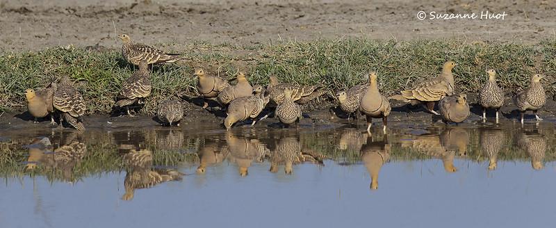 Sandgrouse reflections