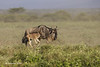 Wildebeest with day old calf