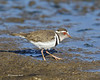 Three -banded Plover