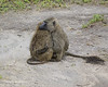 Baboon best friends