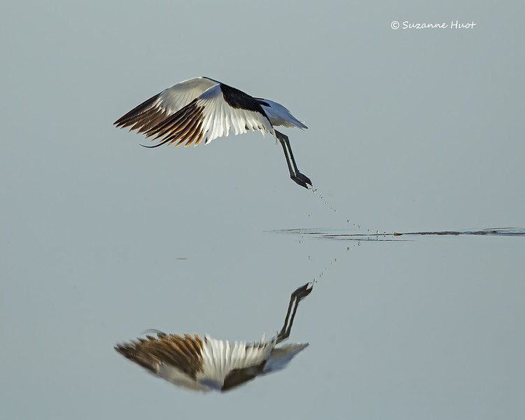 Pied Avocet at day break